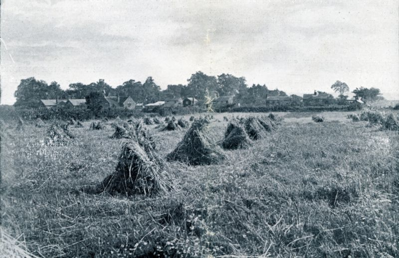 Harvesting in West Mersea with corn stooks standing in the field - in Mersea these were known as traves or traives. Looking across what is known in 2009 as the 'Legion Field', formerly known as Three Acres.