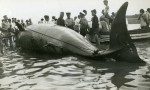 168. ID RG11_235 Whale washed up on the Mersea beach. One of the 25ft whales washed up on Mersea Island 30 July 1939. Seen by Mr Lungley, it looked like an overturned boat with ...