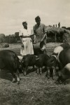 13. ID GRD_LAN_025 Albert Green (David's father), with the pigs at Waldegraves Farm, Mersea. Albert worked there for many years. The lady is not known.