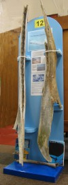 7. ID TM2_2610 Whale bones were discovered by Ralph Merry in May 2008 in the mud off Cobmarsh Island at the entrance to Mersea Quarters. They are the lower jaw bones of a ...